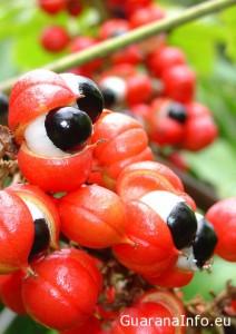 guarana-paullinia-cupana
